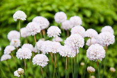 White beautiful flowers. (Eukaryota). Background Royalty Free Stock Images