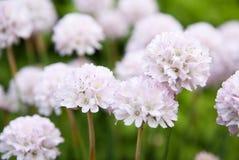 White beautiful flowers. (Eukaryota). Close up Stock Photos