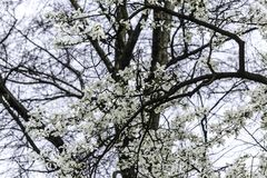 Branches with magnolia flowers against the background of a tree without leaves. White beautiful flowers on the site about nature, colors, ecology, seasons Stock Image