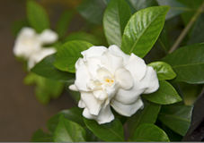 White beautiful flowers, surrounded by green leaves. Botanical Garden Royalty Free Stock Photo