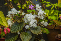 White beautiful flowers, surrounded by green leaves. Botanical Garden Stock Photography