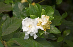 White beautiful flowers, surrounded by green leaves. Botanical Garden Royalty Free Stock Images