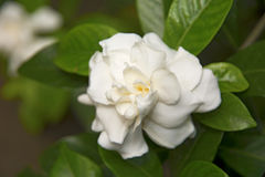 White beautiful flowers, surrounded by green leaves. Royalty Free Stock Photography