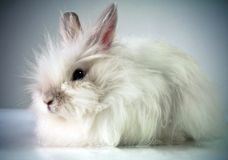 White beautiful fluffy rabbit Royalty Free Stock Images
