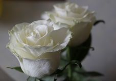 White beautiful fresh innocence roses. White roses: so beautiful, so innocence, so fresh. A little bit frozen and touchy Stock Image