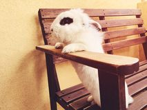 White beautiful funny rabbit standing on a bench. White beautiful funny rabbit standing on a bench Royalty Free Stock Photos