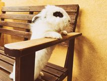 White beautiful funny rabbit standing on a bench. White beautiful funny rabbit standing on a bench Royalty Free Stock Image