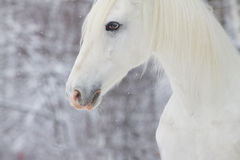 White beautiful horse Royalty Free Stock Photo