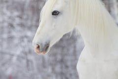 White beautiful horse royalty free stock photo
