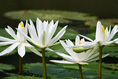 White beautiful lotus Stock Photography