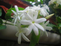 White beautiful jasmine. Kerala white flower Royalty Free Stock Photos