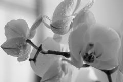 White beautiful macro orchid flowers, close up shot with water drops. Black and white. Royalty Free Stock Photo