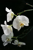 White beautiful orchid. With drops on a black background royalty free stock photo