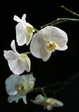 White beautiful orchid. With drops on a black background Stock Photo