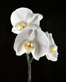 White beautiful orchid Stock Photo