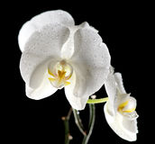 White beautiful orchid Royalty Free Stock Photo