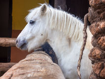 White beautiful pony Royalty Free Stock Images