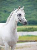 White beautiful purebred arabian stallion. Cloudy royalty free stock images