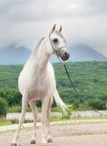 White beautiful  purebred arabian stallion Stock Photos
