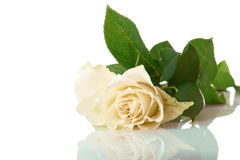 White beautiful rose Royalty Free Stock Image