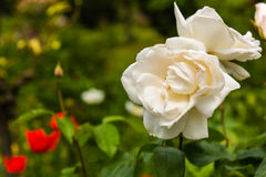 White beautiful roses in a garden Royalty Free Stock Photos
