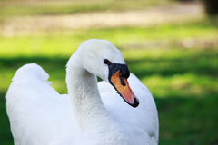White beautiful swan Royalty Free Stock Photography