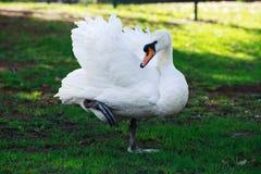 White beautiful swan Royalty Free Stock Photos