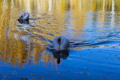 White beautiful Swan in Russia stock photos