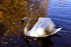 White beautiful Swan in Russia stock images
