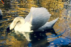 White beautiful Swan in Russia royalty free stock photography