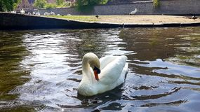 The Swan in the lake royalty free stock photography