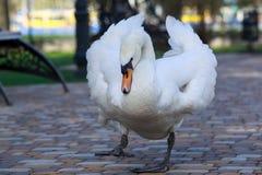 White beautiful swan Stock Photo