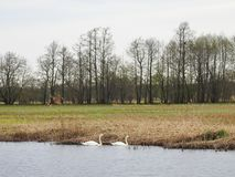 Two swans in spring lake, Lithuania Royalty Free Stock Photo