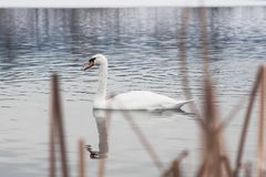 White wild swans on peaceful water stock photos