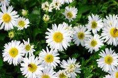 White beautifuls chamomiles stock photos