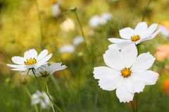 White beauty flowers. Summer flowers in the garden Royalty Free Stock Image