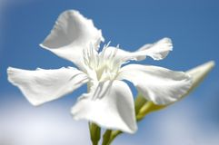 White beauty III Royalty Free Stock Images