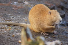 White Beaver Stock Photography