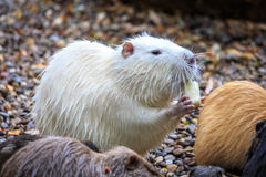White beaver. Eating among his mates Stock Photography