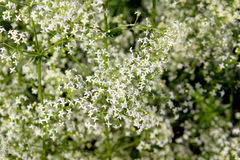 White bedstraw Stock Photo