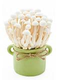 White beech mushrooms, Shimeji mushroom, Edible mushroom. Stock Photos
