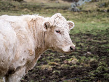 White Beef Cow Royalty Free Stock Photography