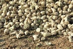 White beet autumn harvest detail Stock Photo