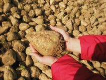 White beet autumn harvest detail Stock Images