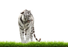White begal tiger with green grass isolated Stock Photo