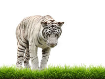 White begal tiger with green grass isolated Royalty Free Stock Images