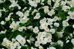 White begonia flowers Stock Image