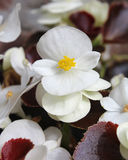 White Begonia. The fresh white flowers of summer bedding plant Begonia semperflorens, also known as wax begonia Stock Images