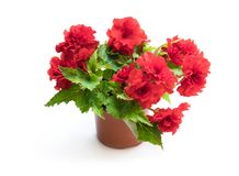 White Begonia plant in the flowerpot isolated on white stock images