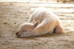 White behandla som ett barn Alpaca som sovar i Sun Royaltyfri Bild